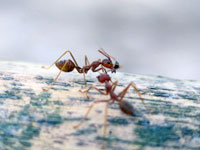 Las Vegas Interesting Facts About Ants Global Pest
